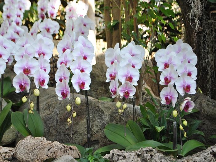 白い美しい花をつけ、貴賓さを漂わせるコチョウラン