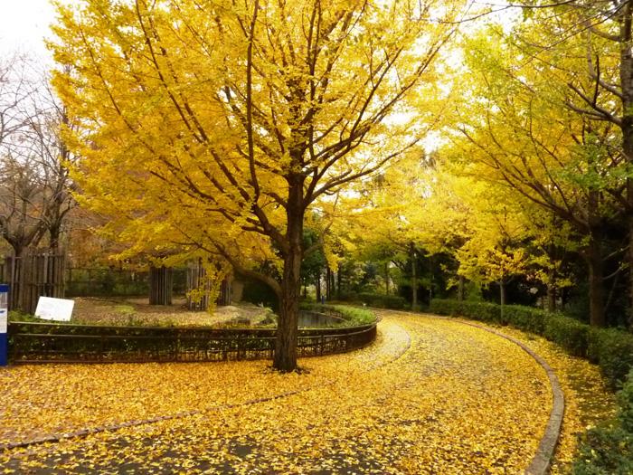 四季折々の景色~【秋】イチョウ