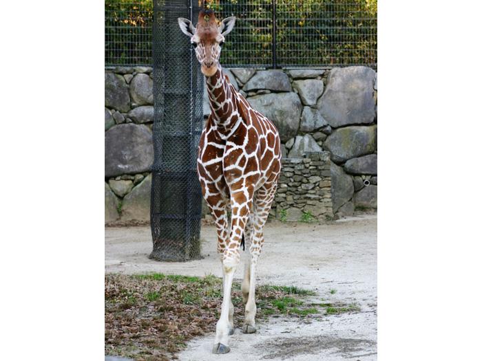 オスの身長は4~5mになるアミメキリン