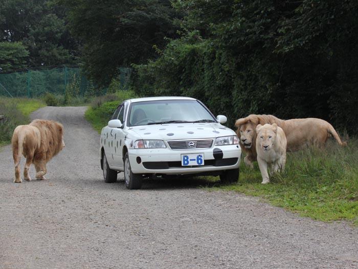 車にライオンが近づいてきてドキドキ!