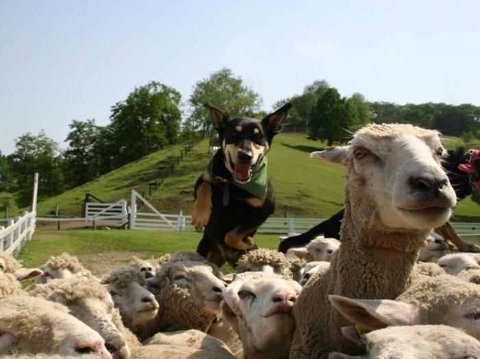 羊たちの大群を操る羊牧犬