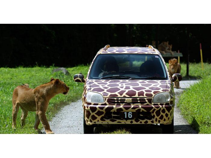 肉食動物ゾーンでライオンに遭遇