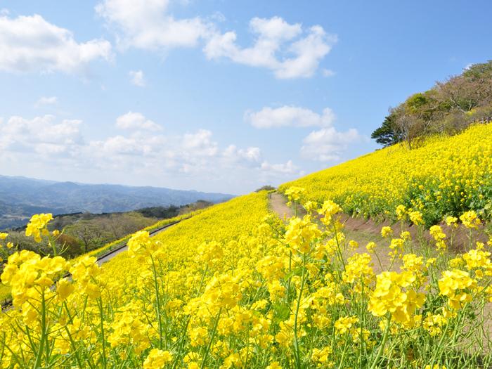 350万本の菜の花が咲き誇る