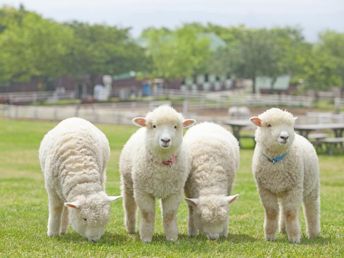 すくすく成長中の子羊たち