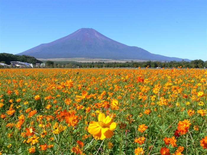 オレンジコスモスと富士山