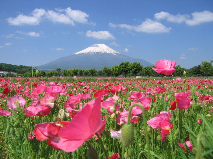 ポピーと富士山