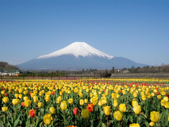 富士山と花を同時に楽しめる