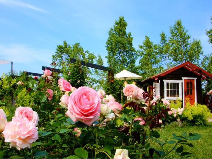 6月中旬~7月中旬はバラの季節
