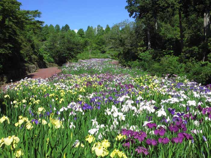 花しょうぶ園(見頃6月)
