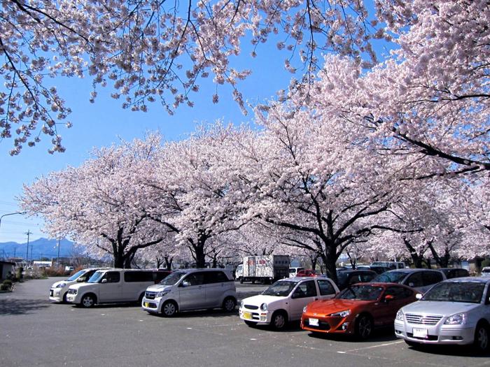 駐車場で見事な桜が見られる