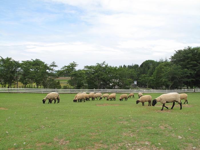 牧場で過ごす羊