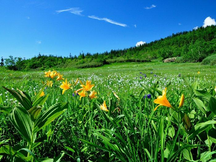 6月中旬から8月中旬は高山植物の美しい花々が咲き誇る