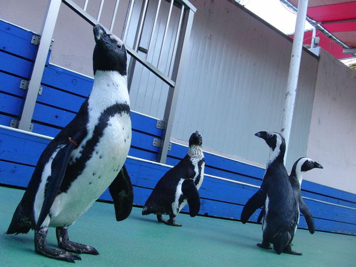 かわいいペンギンたち