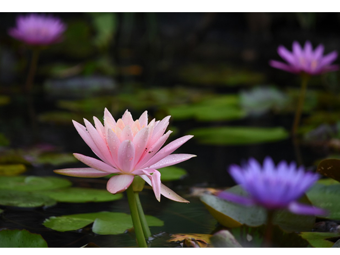 水上楽園の睡蓮の花
