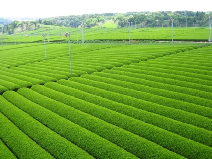 オープンビレッジ・こどもオンラインビジネスプログラム 世界農業遺産「静岡の茶草場農法」の魅力を考えよう