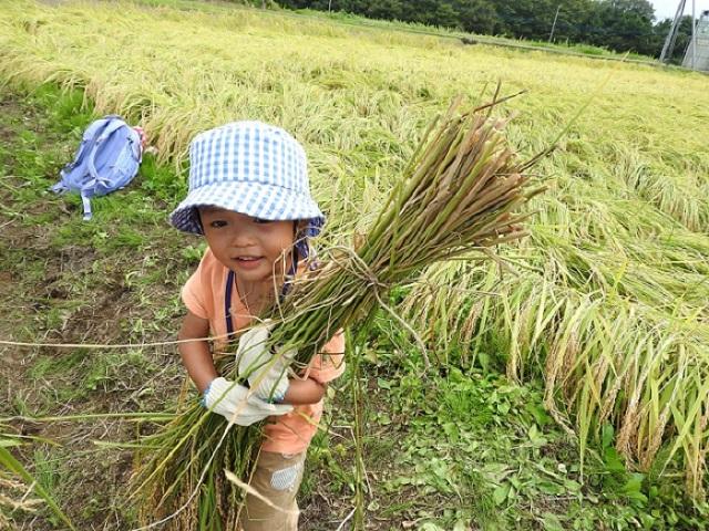 [終了]茨城県有機栽培農家「百笑米」で稲刈りとご当地おにぎり作りに挑戦しよう![現地集合/日帰り/茨城/旅いくオリジナル]