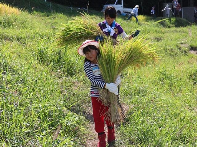 [終了]無農薬・有機栽培米「ひのひかり」の稲刈りとご当地おにぎり作りに挑戦しよう![現地集合/日帰り/奈良/旅いくオリジナル]